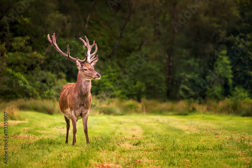 Red deer forest