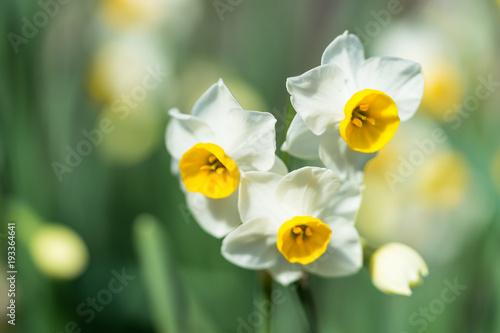 Papiers peints Narcisse スイセンの花