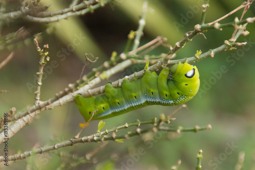 Green Lunar Caterpillar