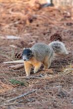Eastern Fox Squirrel Sciurus N...