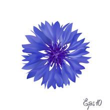Dark Blue Cornflower