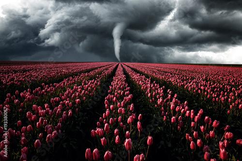 Zdjęcie XXL Tornado szaleje nad polem tulipanów, krajobraz