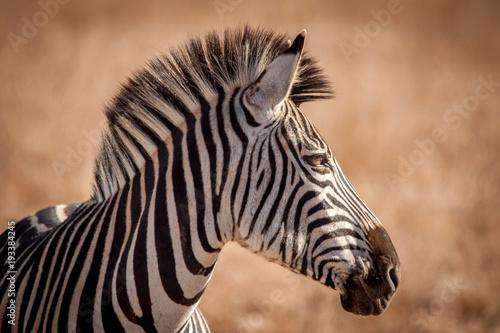 Fototapety, obrazy: Zebra and its Stripes