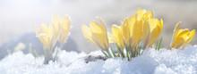 Crocuses Grow On Snow On A Spr...