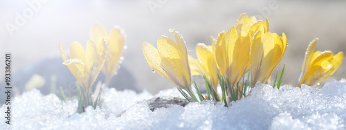 Papiers peints Crocus Crocuses grow on snow on a spring sunny day in the open ground. Coloring a composition of yellow flowers and a stone under bright rays, a template for a postcard.