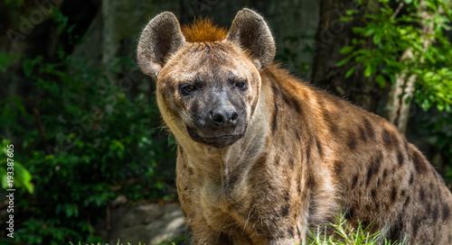 hyena in a zoo