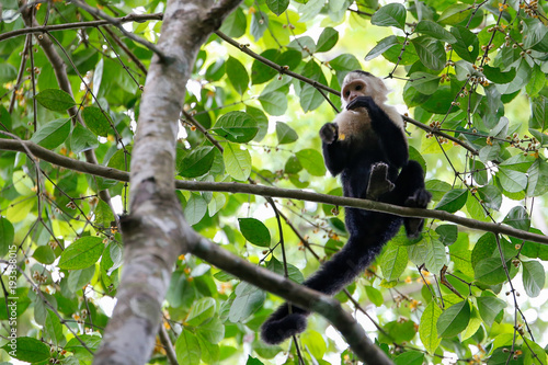 white headed capuchin monkey eating berries Fototapeta
