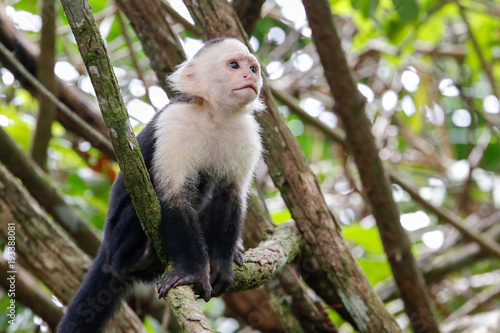 Fotografia, Obraz  white headed capuchin monkey