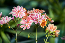 Lewisia Cotyledon Flowers Grow...