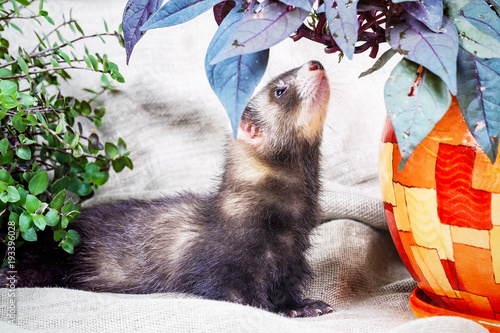 little cute ferret kid Fototapet