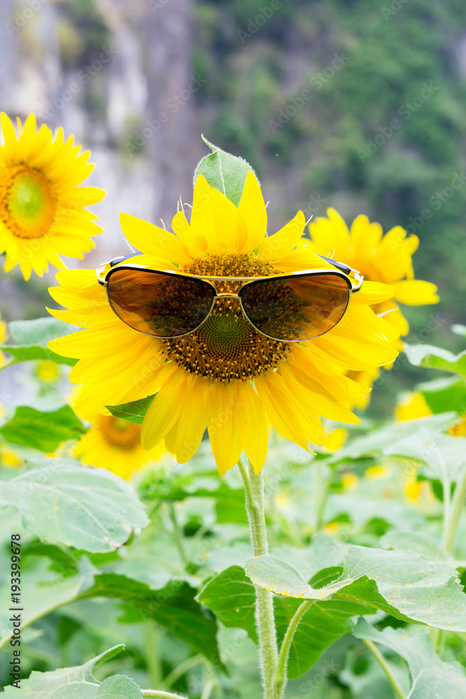Beautiful Sunflower in the field at Phitsanulok Thailand.