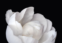 White Peony Flower On Black Ba...