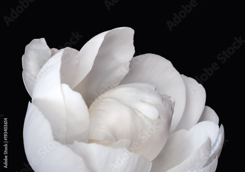 White peony flower on black background. Macro photo with shallow depth of field.