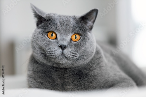 Naklejki koty   ladny-szary-kot-na-kanapie