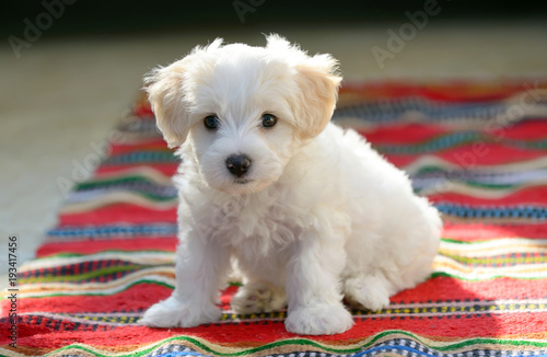 Fényképezés  White puppy maltese dog sitting on carpet