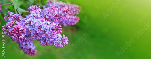 Keuken foto achterwand Lilac Lilac flowers isolated on green.