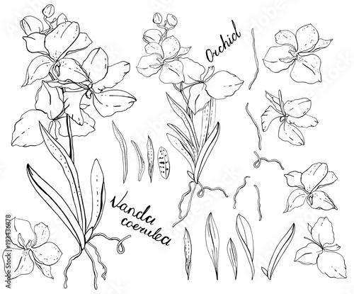 Fototapety, obrazy: Black and white orchid vanda