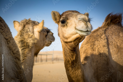 Foto op Canvas Kameel Camels in Arabia.