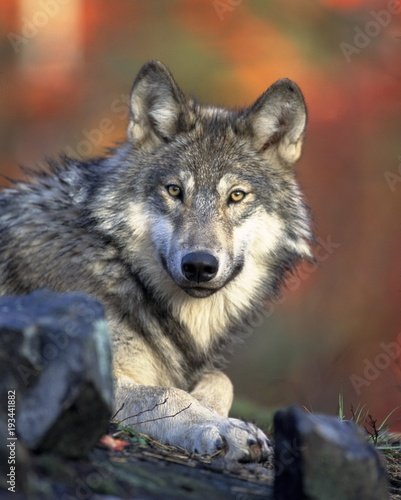 Foto op Canvas Wolf Wolf in the woods