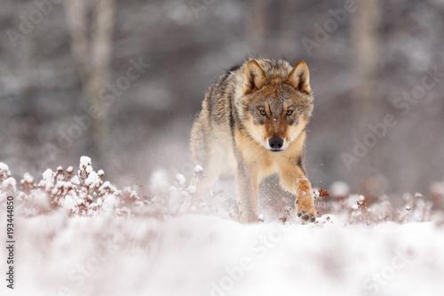 фотография  Wolf