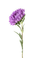 Purple Aster Isolated On White...