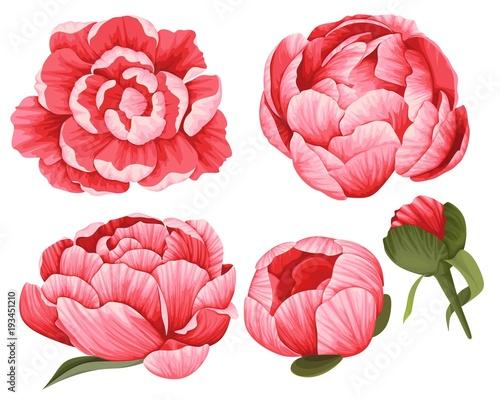 Fotografie, Obraz Peony Vector Clip Art Set of 5 Red beautiful Flowers image