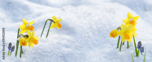 Deurstickers Narcis Osterglocken im Schnee -- Hintergrund -- Banner -- Panorama