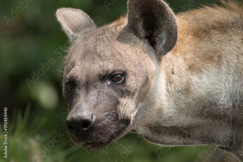 close-up of spotted hyena.