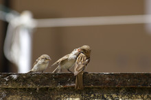 Sparrow Feeding The Youngs
