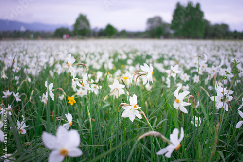 Papiers peints Lilas White narcissuses flowering on green spring field in natural park