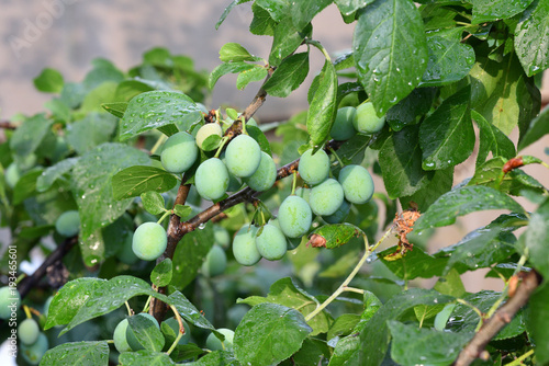 Beautiful green plum on a branch in a home garden