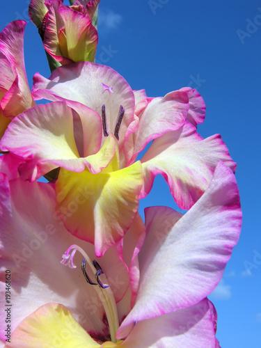 Papiers peints Azalea close-up of pink gladiolus on blue sky background