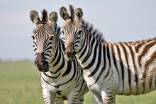 Two Zebras Grazing On Grass