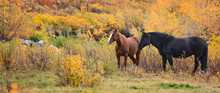 Two Horses Standing In Fall Fo...