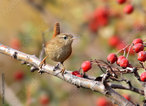 Fotografija  Close up photo of eurasian wren sits on a branch wit bright red berries on beige