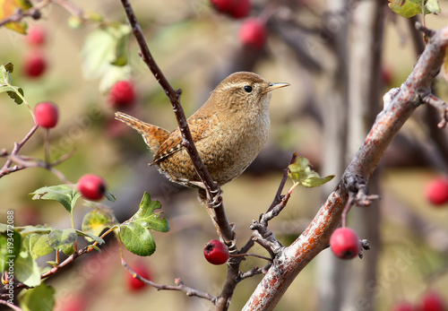 Cuadros en Lienzo Close up photo of eurasian wren sits on a branch wit bright red berries on beige