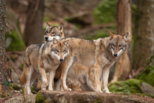 Gray Wolf, Grey Wolf, Canis Lu...