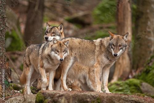 Obraz na płótnie gray wolf, grey wolf, canis lupus
