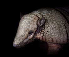 Big Hairy Armadillo Portrait I...