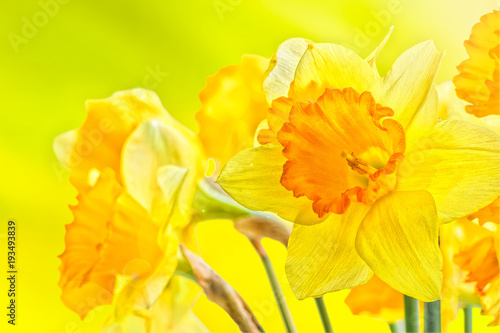 Deurstickers Narcis Bouquet of yellow spring daffodils backlit, close up