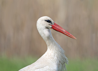 Close up photo of a head and neck of a white stork on blurred beige background