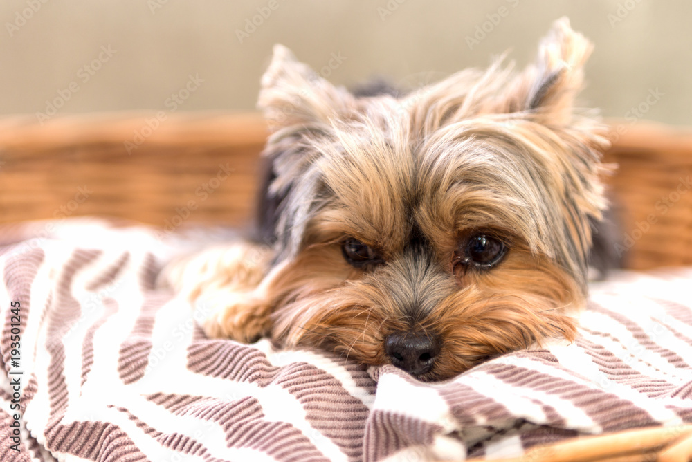Fototapety, obrazy: Tired Yorkshire Terrier laying in basket