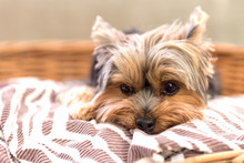 Tired Yorkshire Terrier Laying...