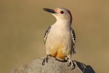 Female Red-bellied Woodpecker ...