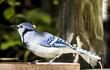 Blue Jay in backyard in Colorado
