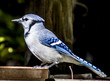 Beautiful Blue Jay birds in backyard with greenery, seed, other blue jays, water bath