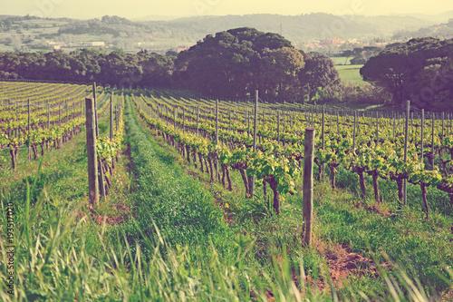 Papiers peints Vignoble Wide grape fields in spring attractive place