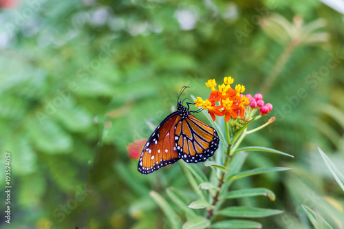 Beautiful Monarch butterfly on multicolored flowers