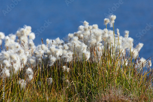Εκτύπωση καμβά Beautiful white flowers od cottongrass
