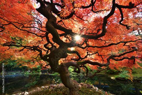 Aluminium Prints Bonsai Japanese Maple Tree in Autumn Color